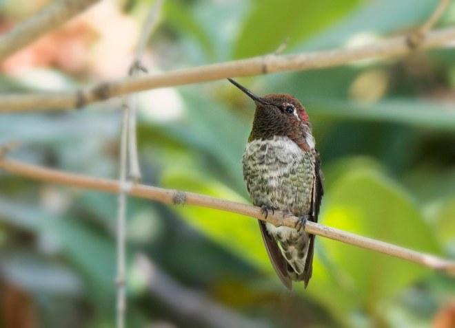 Hummingbird_DSC_9128