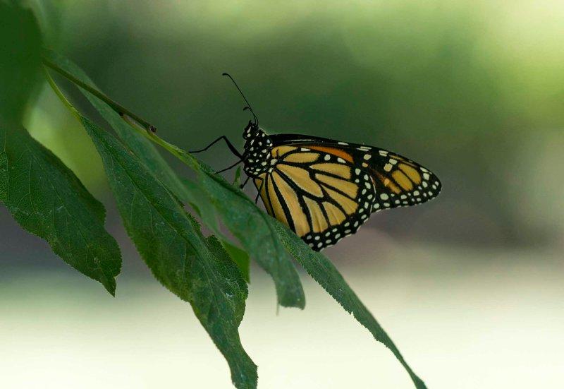 Monarch_DSC_8918