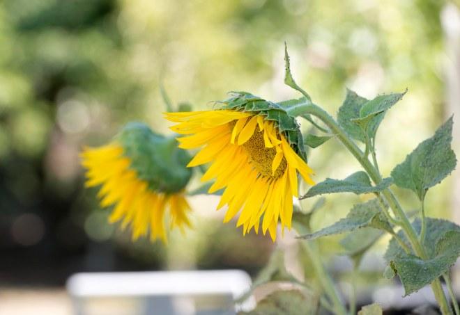Sunflower_DSC_9083