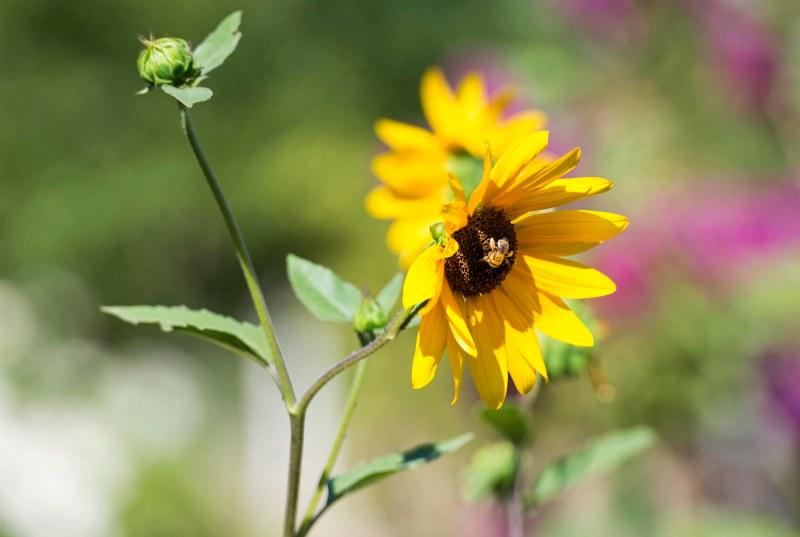 Sunflowers_DSC_9063