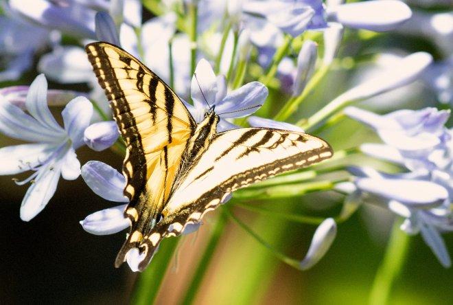SwallowTail-Butterfly_DSC_8747