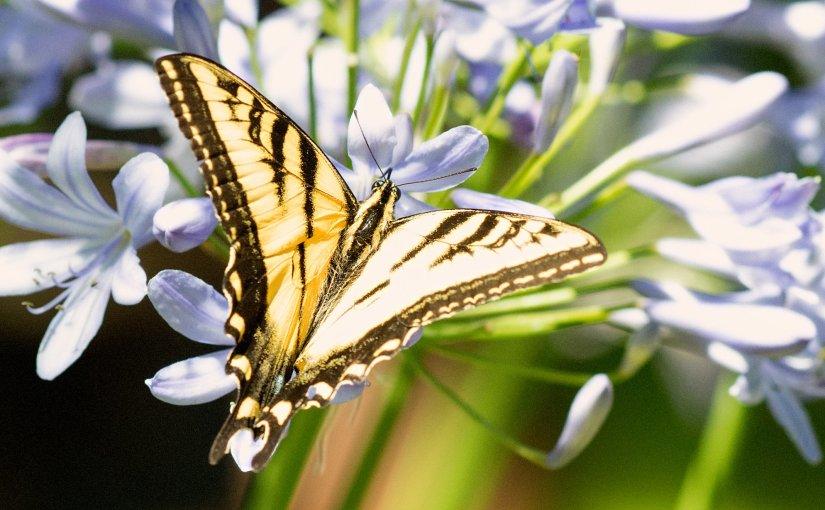 Wordless Wednesday: Swallowtail