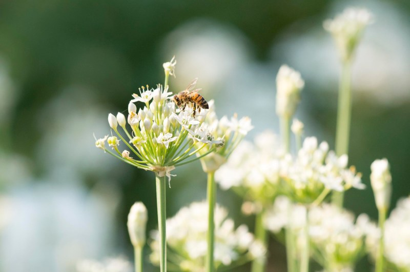 Agapanthus White_Bee_DSC_9920
