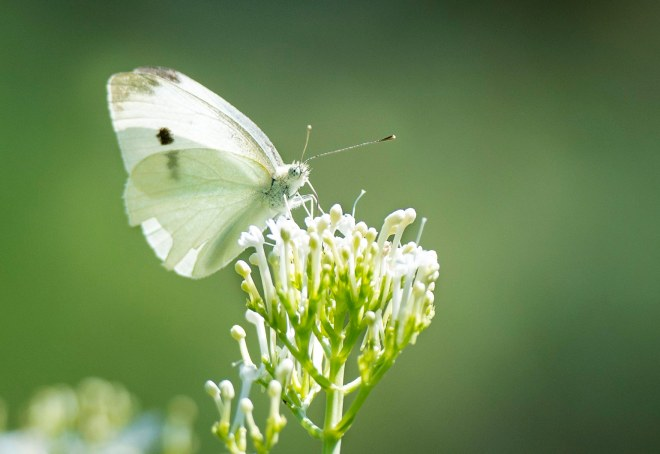 Cabbage Butterfly White_DSC_0031