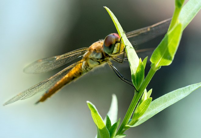 Dragonfly_DSC_0088
