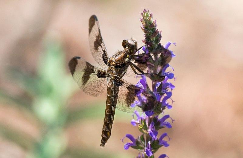 Dragonfly_DSC_9370