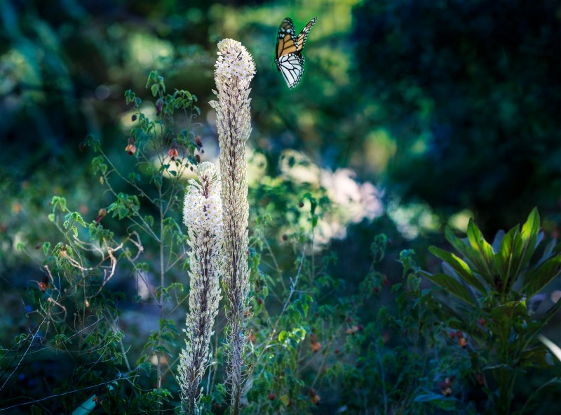 Foxtail Lily_DSC_0253