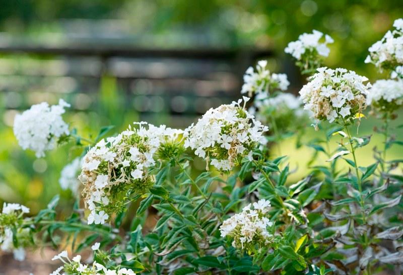 Garden_White_DSC_9929