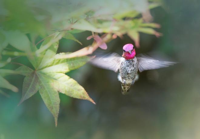 Hummingbird1_DSC_9142