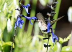 Hummingbird Sage