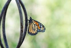 Monarch_DSC_9965