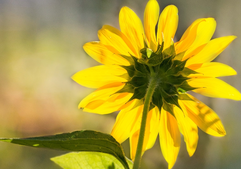 Sunflower2_DSC_9760