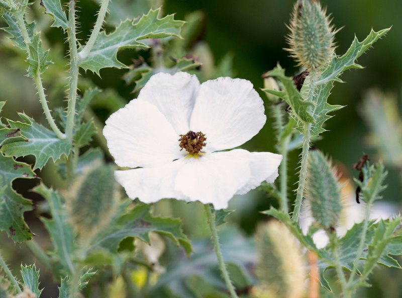 Thistle-Flower_DSC_9584