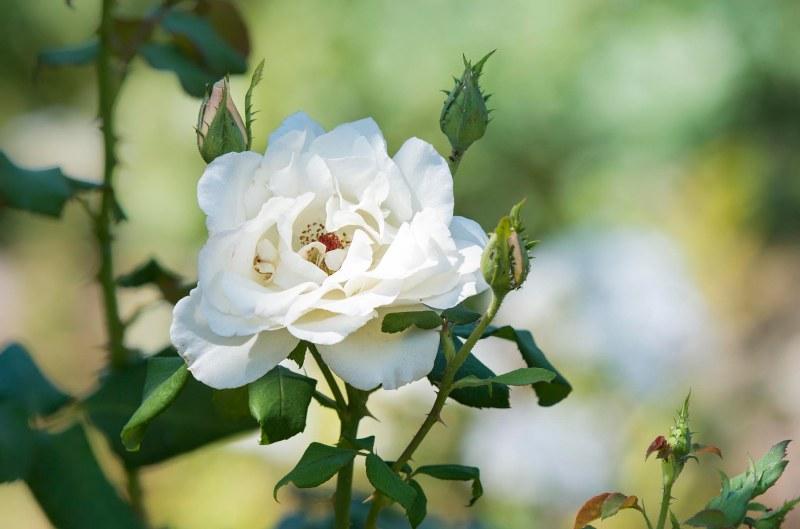 White Rose_DSC_0011