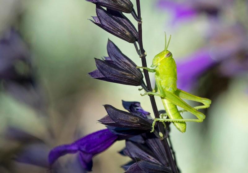 grasshopper_dsc_1612