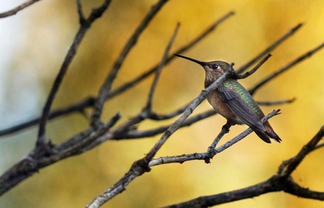 hummingbird_dsc_0275