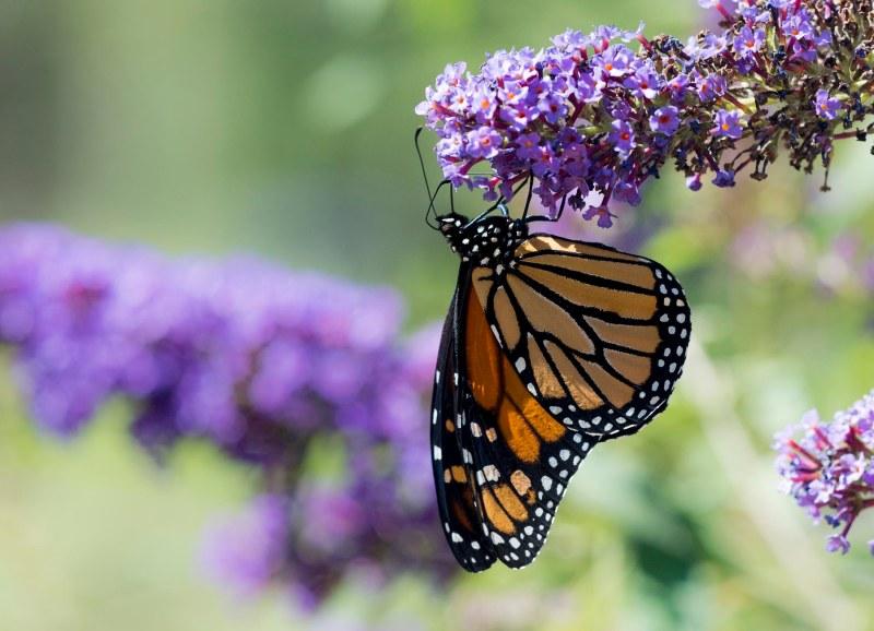 monarch_dsc_1651