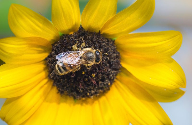 sunflower_bee_dsc_0937