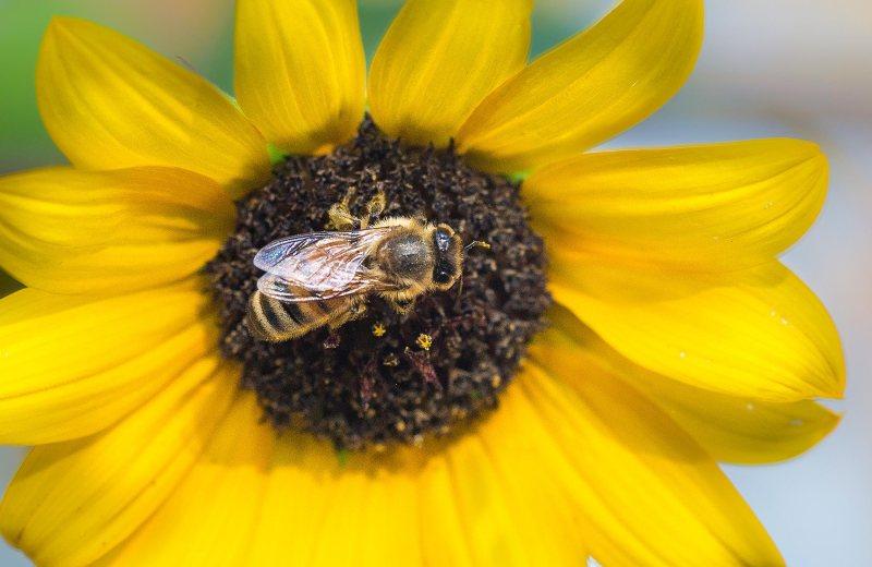 sunflower_bee_dsc_0937