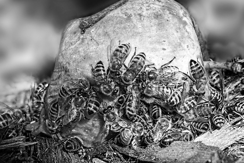bees_apple_dsc_2990_bw