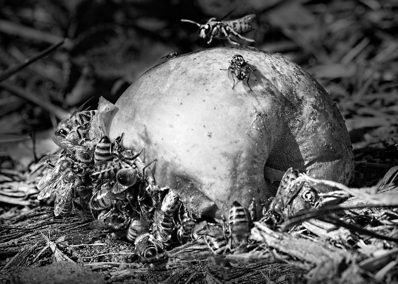 bees_apple_dsc_3018_bw