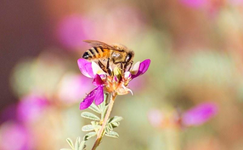 desert-flower_bee_dsc_1408