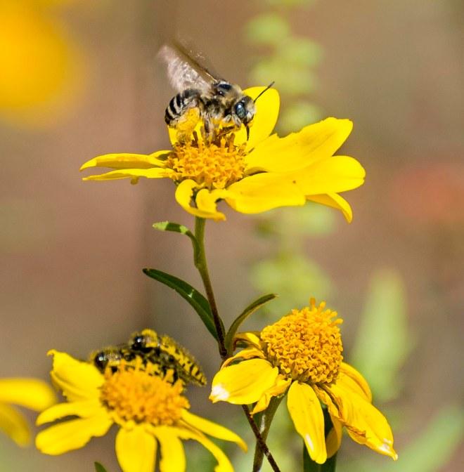 desert-sunflower_geraea-canescens_dsc_1473