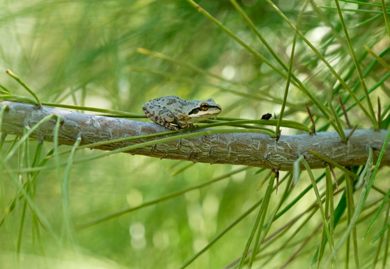 frog_pine-tree_dsc_1954