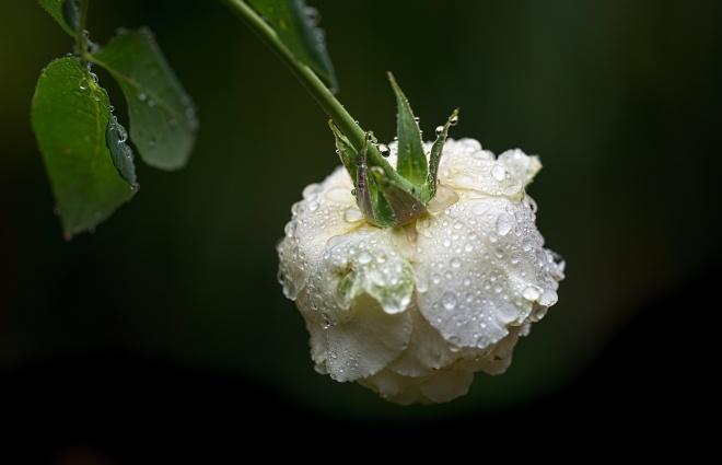 rose_rain_dsc_2807