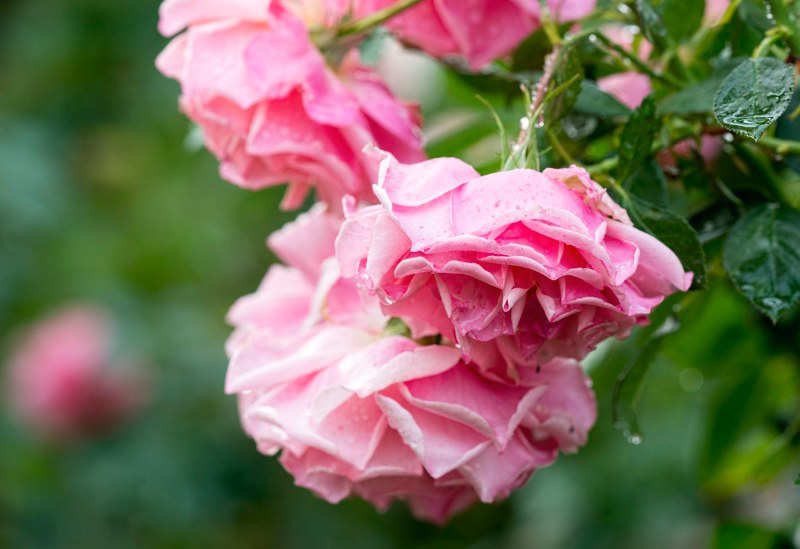 rose_rain_dsc_3283