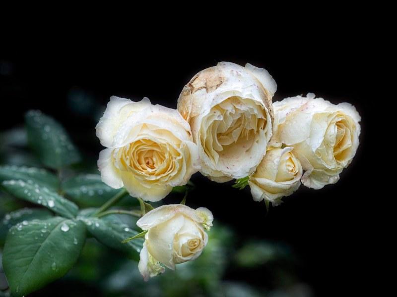 roses_rain_dsc_3256a