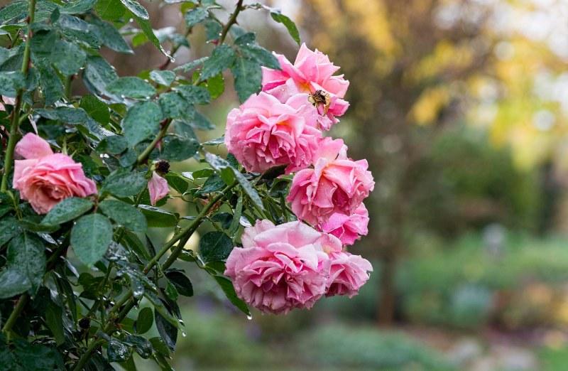 roses_rain_dsc_3266