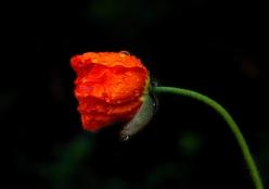 iceland-poppy_dsc_4208