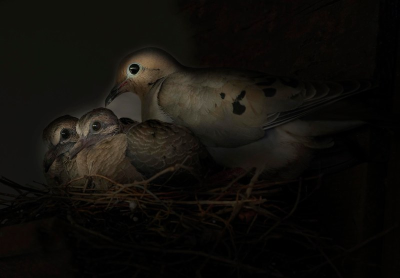 mourning-dove_babies_dsc_1955