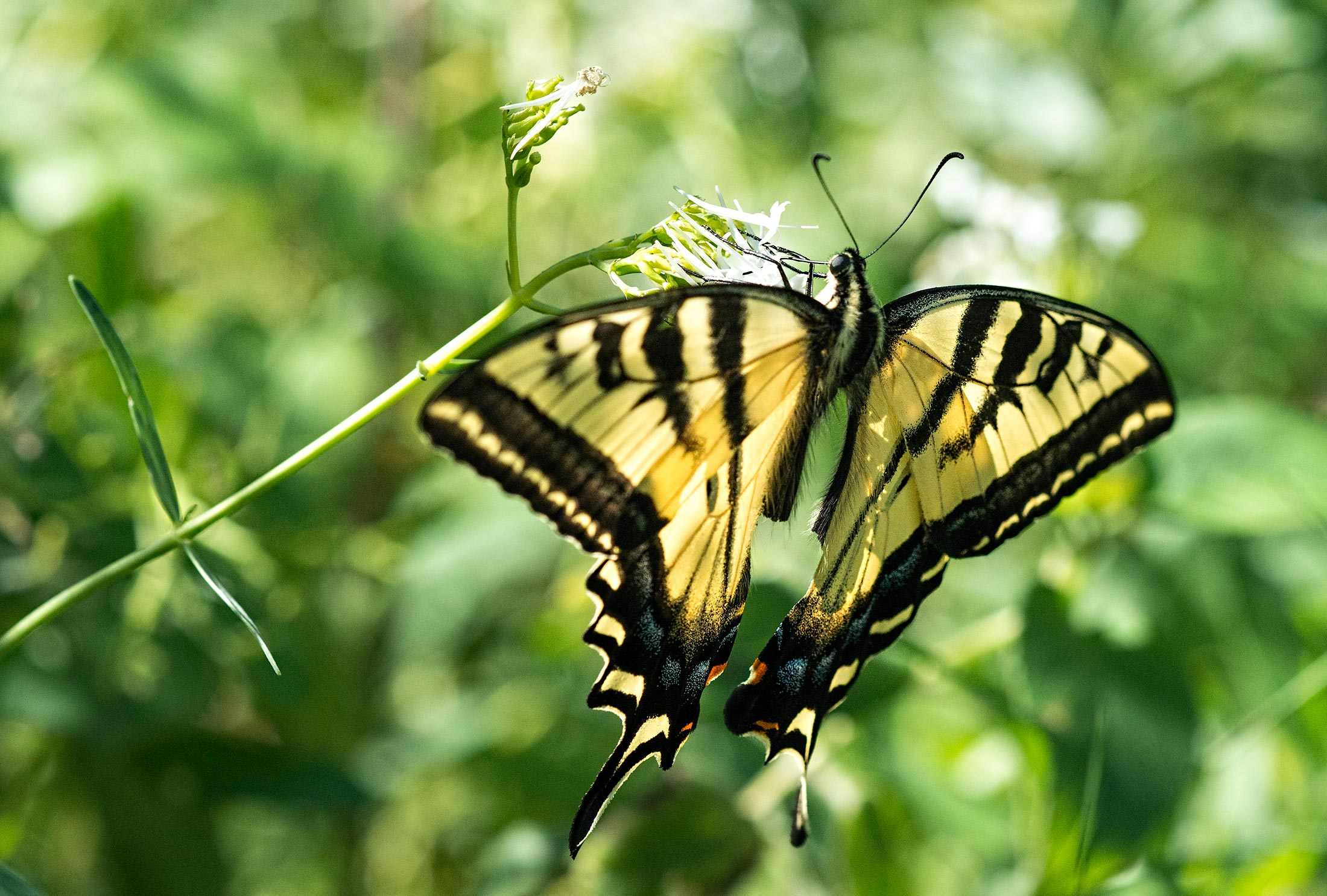 swallowtail-butterfly_dsc_2559