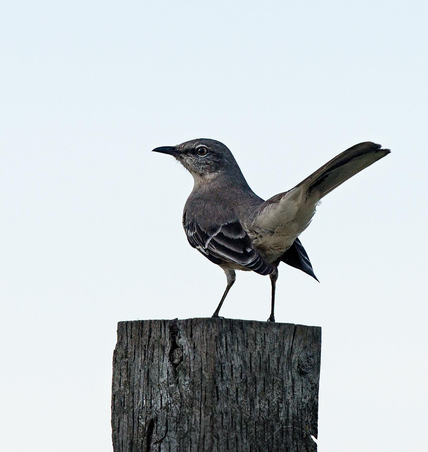 mockingbird_dsc_4433