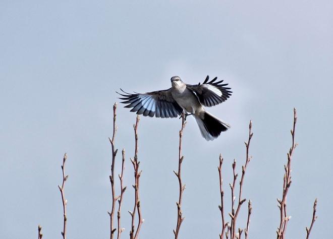 mockingbird_r_dsc_4027