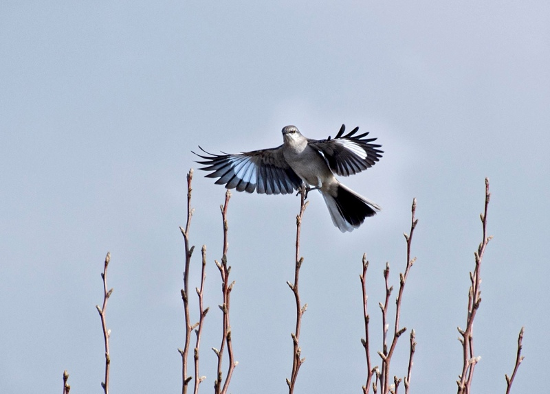mockingbird_r_dsc_4027