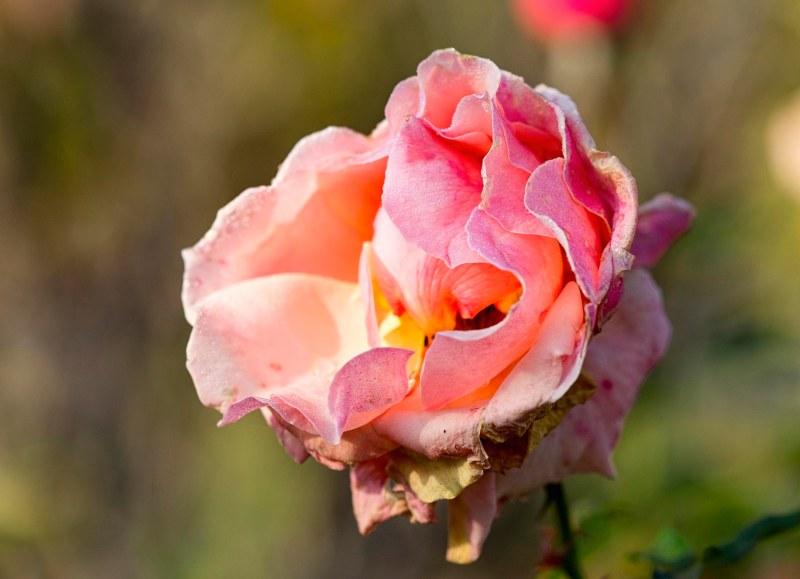 rose_fall_dsc_4482