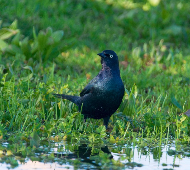 brewers-blackbird_dsc_5761