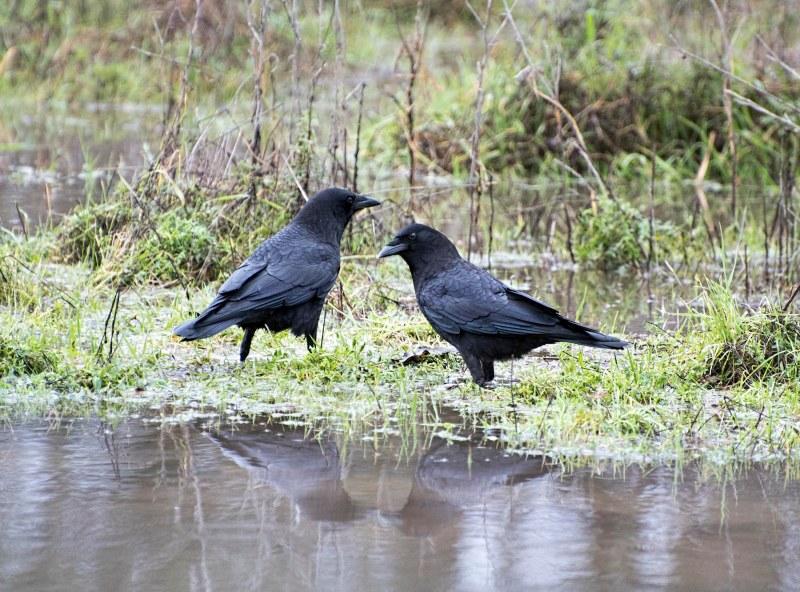 crows_dsc_7682