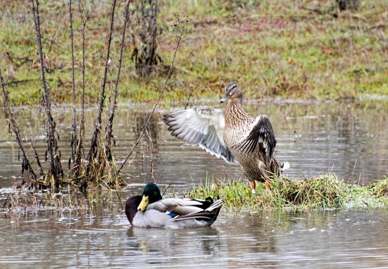 ducks_dsc_7730