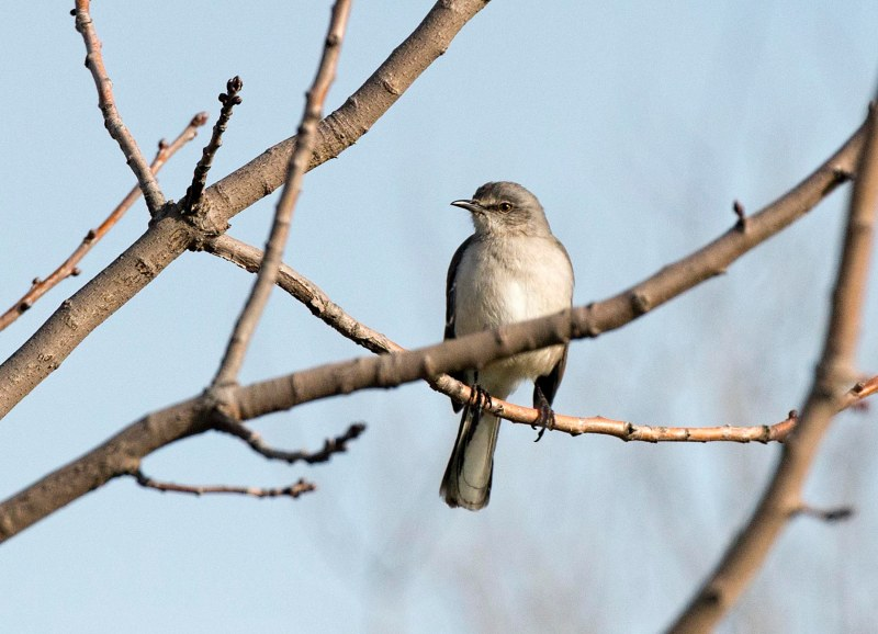 mockingbird_dsc_5111