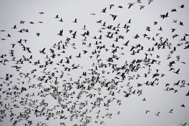 snow-geese_dsc_5393