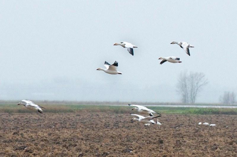 snow-geese_dsc_5410