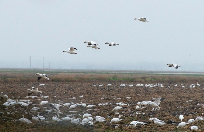 snow-geese_dsc_5415