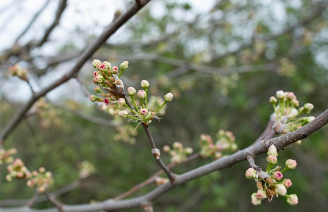 apple-blossoms_dsc_6608