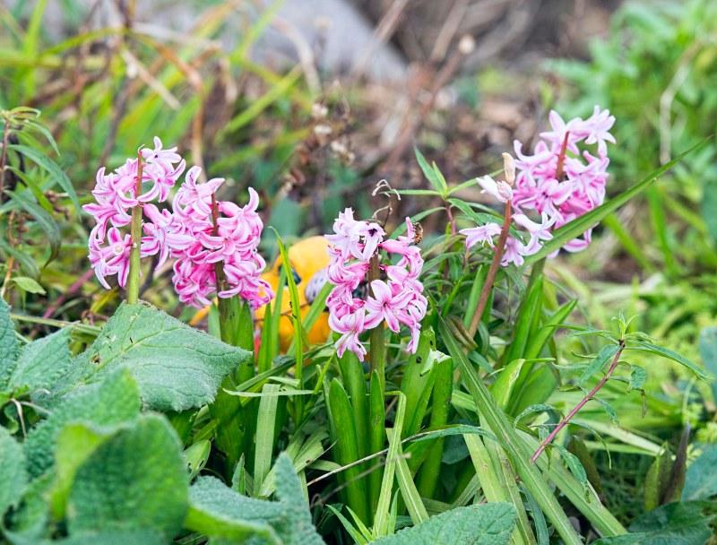 hyacinth_dsc_6153