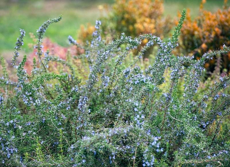 lavendar_dsc_6166