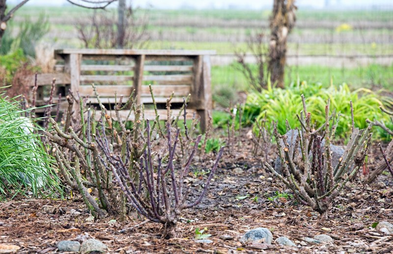 rose-pruning_dsc_6151